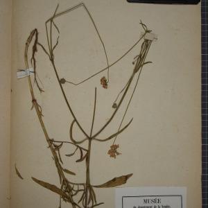 Photographie n°1246904 du taxon Scabiosa columbaria L. [1753]