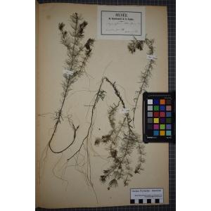 Myriophyllum alterniflorum DC. (Myriophylle à feuilles alternes)