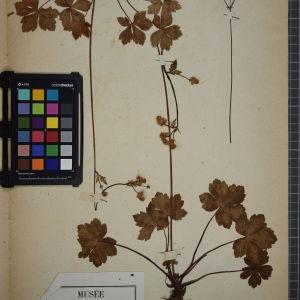 Photographie n°1247205 du taxon Sanicula europaea L.