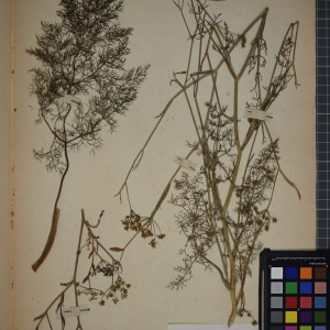Photographie n°1247212 du taxon Foeniculum officinale All. [1785]