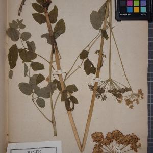 Photographie n°1247235 du taxon Angelica sylvestris L. [1753]