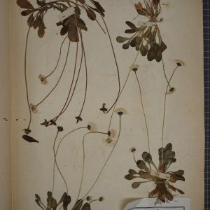 Photographie n°1247267 du taxon Bellis perennis L.