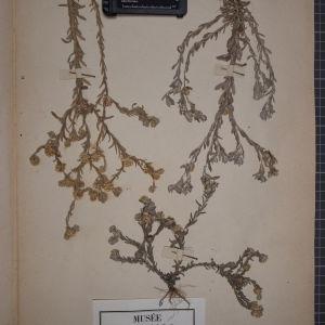 Photographie n°1247340 du taxon Filago germanica L.