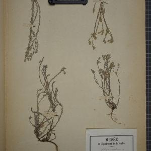 Photographie n°1247346 du taxon Filago montana L. [1754]