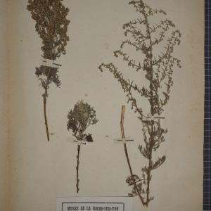 Photographie n°1247368 du taxon Artemisia maritima L.