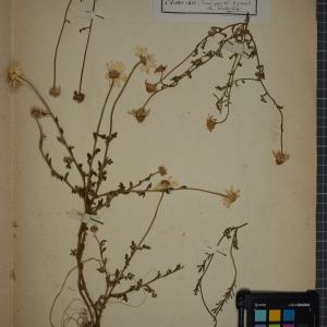 Photographie n°1247397 du taxon Anthemis arvensis L. [1753]