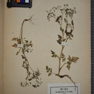 Photographie n°1247449 du taxon Anthriscus vulgaris Bernh. [1800]