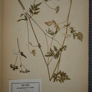 Photographie n°1247459 du taxon Torilis anthriscus (L.) C.C.Gmel. [1805]