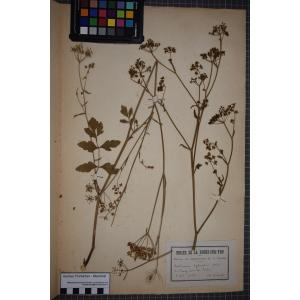 Pastinaca sativa subsp. sativa var. arvensis Pers. (Panais des bois)