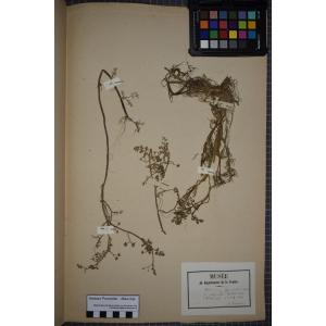 Apium inundatum (L.) Rchb.f. [1867] (Ache inondée)