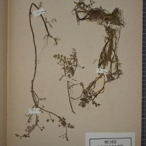 - Helosciadium inundatum (L.) W.D.J.Koch [1824]