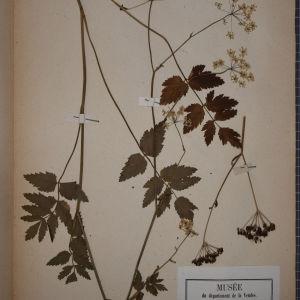 Photographie n°1247517 du taxon Pimpinella magna L. [1771]