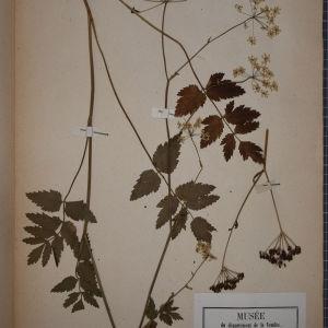Photographie n°1247519 du taxon Pimpinella magna L. [1771]