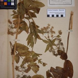 Photographie n°1247523 du taxon Sium latifolium L.