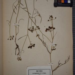 Photographie n°1247530 du taxon Oenanthe lachenalii C.C.Gmel. [1805]