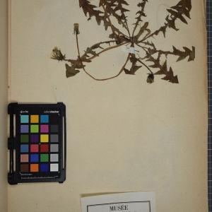 Photographie n°1247700 du taxon Taraxacum erythrospermum Andrz. ex Besser [1821]