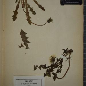 Photographie n°1247701 du taxon Taraxacum officinale Weber [1780]