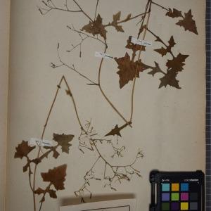 Photographie n°1247706 du taxon Lactuca muralis (L.) G.Mey. [1836]