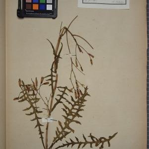 Photographie n°1247707 du taxon Lactuca perennis L.