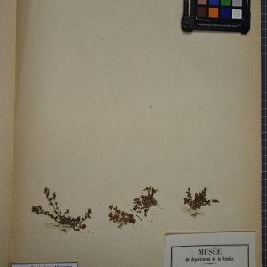 Photographie n°1247825 du taxon Centunculus minimus L. [1753]