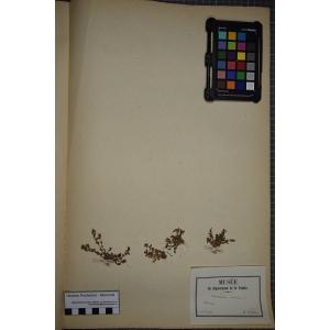 Lysimachia minima (L.) U.Manns & Anderb. (Mouron nain)