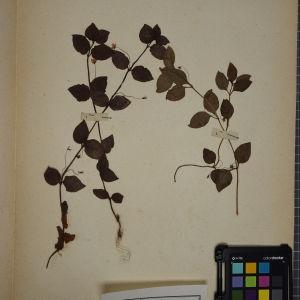 Photographie n°1247826 du taxon Lysimachia nemorum L.