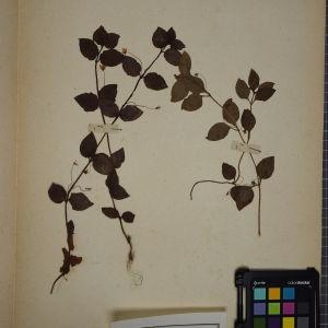 Photographie n°1247828 du taxon Lysimachia nemorum L.