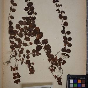 Photographie n°1247829 du taxon Lysimachia nummularia L. [1753]