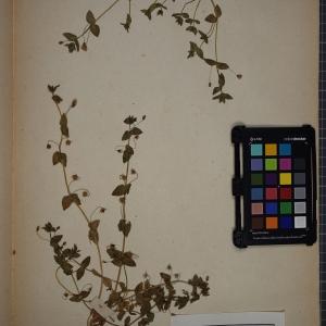 Photographie n°1247833 du taxon Anagallis arvensis L. [1753]
