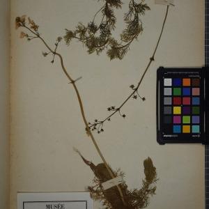Photographie n°1247843 du taxon Hottonia palustris L. [1753]