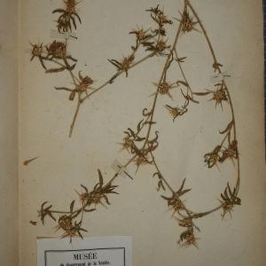 Photographie n°1247886 du taxon Centaurea calcitrapa L. [1753]