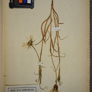Photographie n°1247915 du taxon Tragopogon orientalis L. [1753]