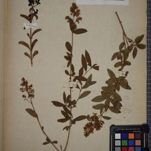 Photographie n°1248254 du taxon Ligustrum vulgare L. [1753]