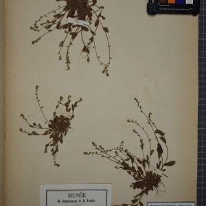 Photographie n°1248261 du taxon Myosotis hispida Schltdl. [1818]