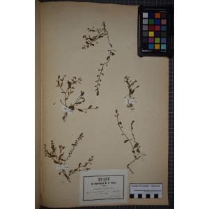 Myosotis pusilla subsp. sicula (Guss.) Douin (Myosotis de Sicile)