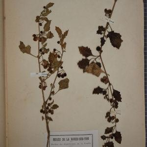 Photographie n°1248309 du taxon Solanum nigrum var. ochroleucum (Bastard) P.Fourn. [1937]