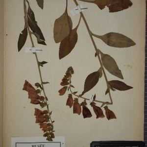 Photographie n°1248344 du taxon Digitalis purpurea L.