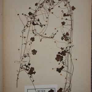 Photographie n°1248348 du taxon Linaria cymbalaria (L.) Mill. [1768]