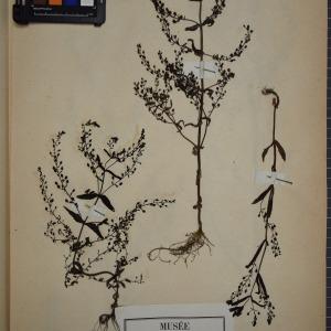 Photographie n°1248372 du taxon Veronica anagalloides Guss. [1826]