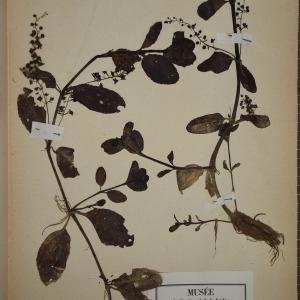 Photographie n°1248374 du taxon Veronica beccabunga L.