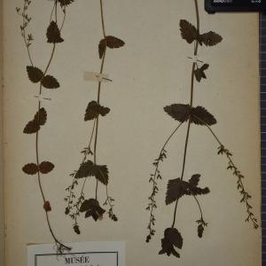 Photographie n°1248375 du taxon Veronica chamaedrys L. [1753]