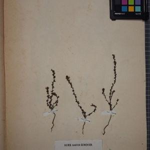 Photographie n°1248418 du taxon Euphrasia rigidula Jord. [1852]