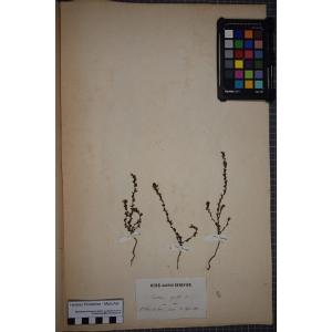 Euphrasia pectinata Ten. (Euphraise à feuilles en peigne)