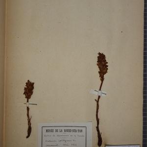 Photographie n°1248434 du taxon Orobanche epithymum DC.