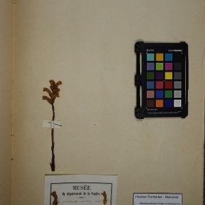 Photographie n°1248444 du taxon Orobanche caerulea Vill. [1787]