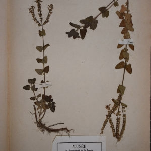 Photographie n°1248722 du taxon Teucrium scorodonia L.