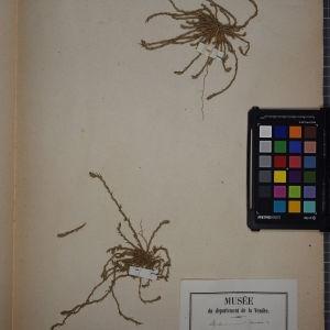 - Polycnemum arvense L. [1753]