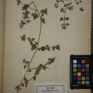 Photographie n°1248990 du taxon Chenopodium vulvaria L.