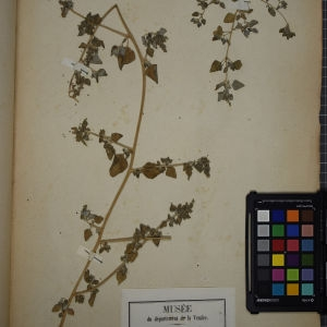 Photographie n°1248992 du taxon Chenopodium vulvaria L.