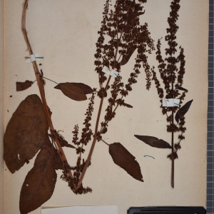 Photographie n°1249023 du taxon Rumex obtusifolius L. [1753]